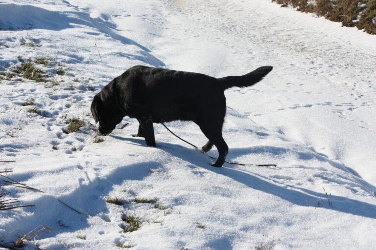 Labrador Retriever Kennel Fokker Dronrijp Friesland Siska