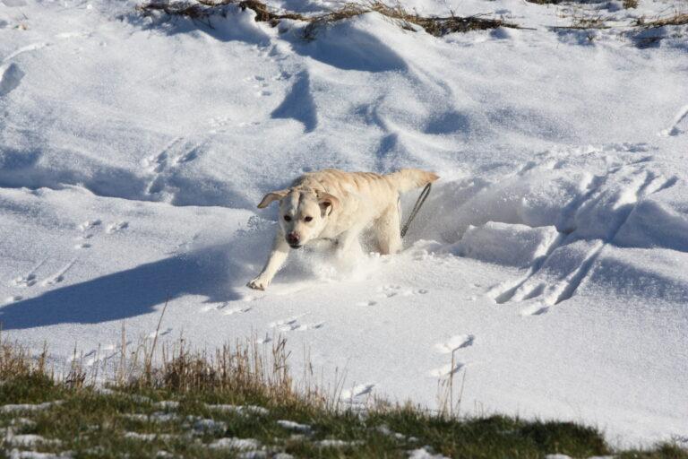 Labrador Retriever Kennel Fokker Dronrijp Friesland Donna