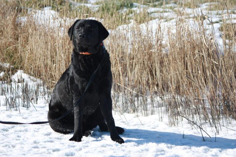 Labrador Retriever Kennel Fokker Dronrijp Friesland Dieke
